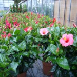Blumen Bisinger Hibiskus