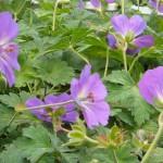 Geranium Storchenschnabel Blau